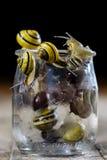 Caracoles coloridos grandes y pequeños en un tarro de cristal Vector de madera Imagenes de archivo