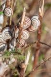 Caracoles de la arboleda en la hierba foto de archivo libre de regalías