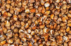 Caracoles de mar crudos para la comida fotos de archivo
