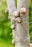 Caracoles de tierra en un árbol Imagen de archivo libre de regalías