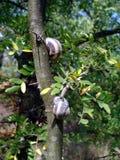 Caracoles de tierra que viven en el verano en árboles imagen de archivo
