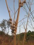 Caracoles en la planta del hinojo Foto de archivo