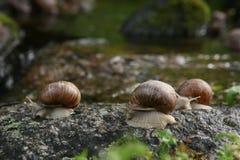 Caracoles en naturaleza Fotografía de archivo