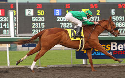 Caracortado Wins The Cal Breeders' Champion Royalty Free Stock Photos