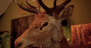 Caractéristique décorative - les cerfs communs bourrés se dirigent sur le mur de briques rouge clips vidéos