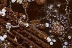 Caractéristique de colonie des actinomyces, des bactéries, de la levure et du moule sur des médias sélectifs des échantillons de  images libres de droits