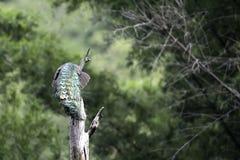 Característica de la demostración del pavo real en bosque Imágenes de archivo libres de regalías