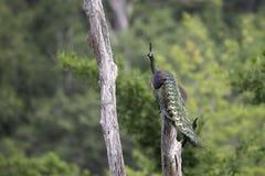 Característica de la demostración del pavo real en tocón en naturaleza Imagen de archivo