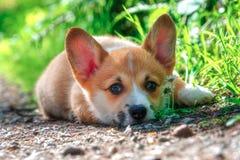Características da zibelina de Pembroke Welsh Cogi Puppy With Fotografia de Stock Royalty Free