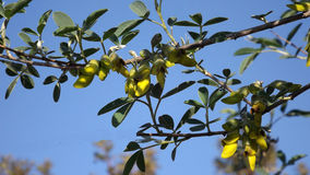 Caragana arborescens, or Yellow acacia flowers Stock Photography