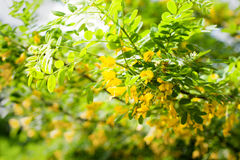 Caragana arborescensblommor Royaltyfri Foto