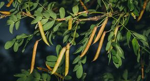 Caragana tree, yellow acacia, Caragana arborescens Royalty Free Stock Photos