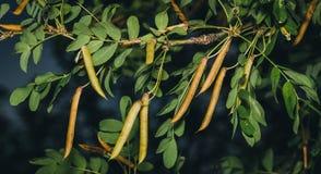 Caragana tree, yellow acacia, Caragana arborescens Royalty Free Stock Photos