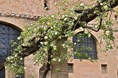 Caramanchão das rosas brancas no feixe de madeira fotografia de stock royalty free