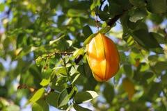 Carambola φρούτων αστεριών ή μήλο αστεριών στο δέντρο στην ημέρα Στοκ εικόνα με δικαίωμα ελεύθερης χρήσης