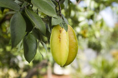 Carambola also known as starfruit Stock Image