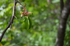 Carambola do Averrhoa Foto de Stock Royalty Free