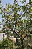 Carambola drzewa produkt spożywczy owoc zdjęcia royalty free