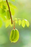 Carambola en el árbol Fotografía de archivo libre de regalías
