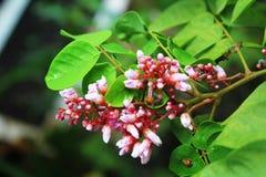 Carambola kwiat lub starfruit kwiat Obrazy Royalty Free