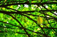 Free Carambola Or Starfruit, Is The Fruit Of Averrhoa Carambola Stock Photo - 164089630