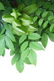 Carambola Star Fruit Royalty Free Stock Image