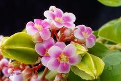 Carambola starfruit Blüten und Frucht Lizenzfreie Stockbilder