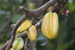 Carambola or starfruit is the fruit in Thailand Royalty Free Stock Photo
