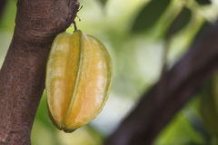 Carambola or starfruit is the fruit in Thailand Stock Images