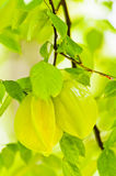 Carambola  on the tree Stock Image