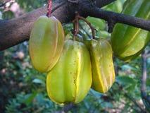 Carambolaen är medelstora fruktträd Arkivfoton