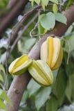 Carambolaen eller starfruit är frukten i Thailand Royaltyfri Bild