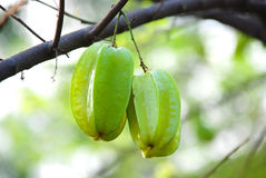Carambolas on the tree Stock Images