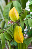 Carambole or star fruit still Royalty Free Stock Photography