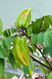 Carambole or star fruit still Stock Photography