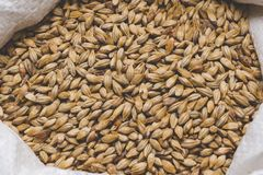 Caramel malt in a bag. Craft beer brewing from grain barley pale. Malt in process. Ale or lager from pilsner malt Stock Photos