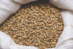 Caramel malt in a bag. Craft beer brewing from grain barley pale. Malt in process. Ale or lager from pilsner malt Royalty Free Stock Image