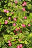 Carandas owoc Azja Południowo-Wschodnia obraz stock
