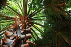 Caranday drzewko palmowe przeglądać od ziemi Obrazy Stock