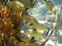 Caranga alinhada azul fora dos consoles de Galápagos Imagem de Stock
