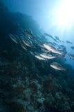Carangas do oceano, do sol e do twinspot imagens de stock royalty free