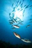 Carangas do oceano, do sol e do twinspot Imagem de Stock Royalty Free