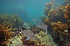Carangas entre ervas daninhas marrons do mar fotografia de stock royalty free