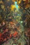 Carangas sob o dossel de floresta da alga imagens de stock royalty free