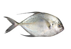 Carangoides fish or Longfin trevally is marine animal on white b Stock Image