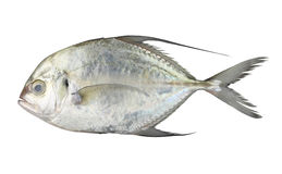 Carangoides fish or Longfin trevally is marine animal on white b Stock Image
