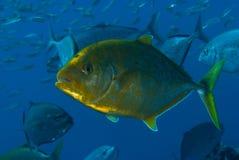 carangoides kropkowany fulvoguttatus trevally kolor żółty Obraz Royalty Free