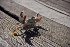 Caranguejo asiático na ilha dos manguezais Fotos de Stock