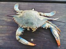 Caranguejo azul do Chesapeake fotos de stock