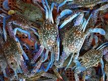 Caranguejo azul fresco Imagem de Stock Royalty Free